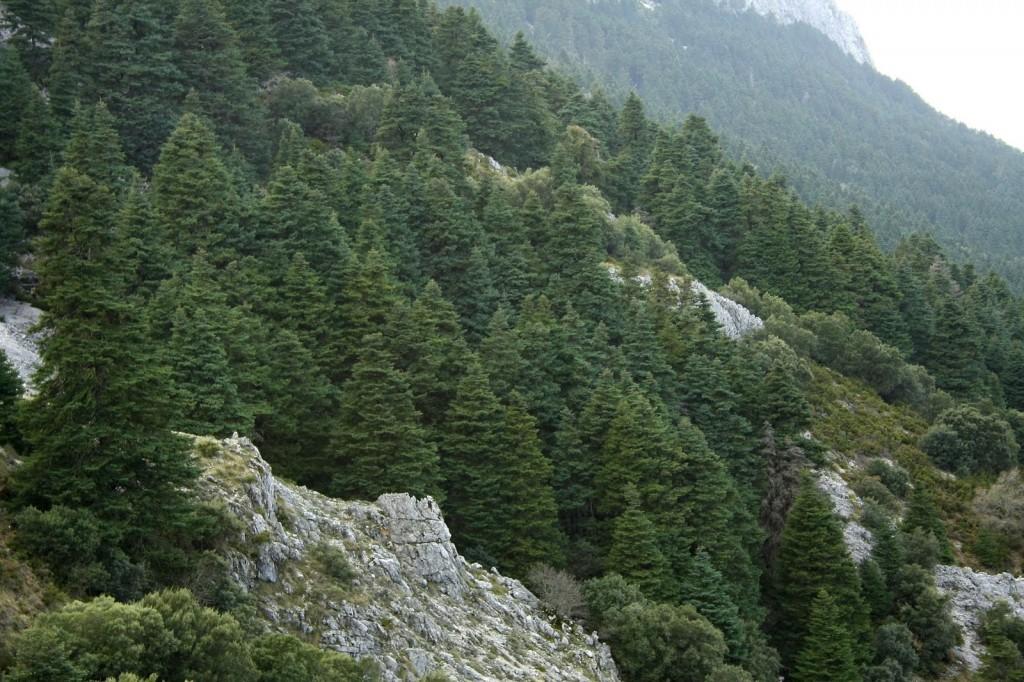 Pinsapar. Fuente: http://www.turismograzalema.info/