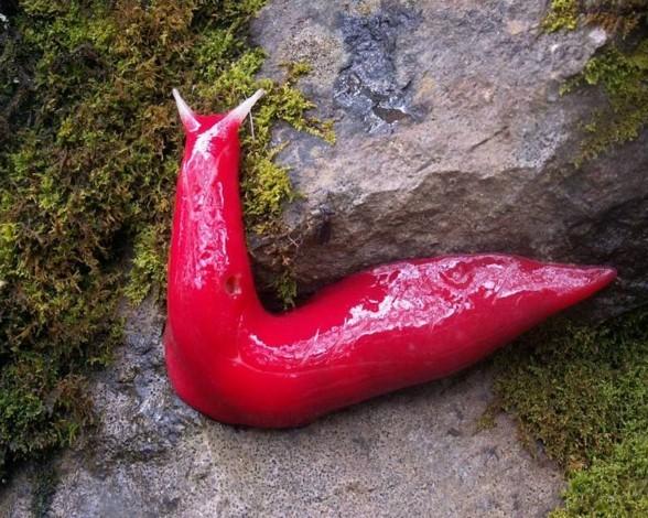 La babosa rosada Kaputar (Triboniophorus).