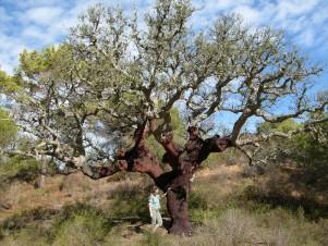 Quercus_suber_algarve