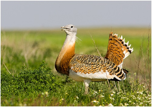 Macho de Avutarda común. Fuente: SEO/Birdlife